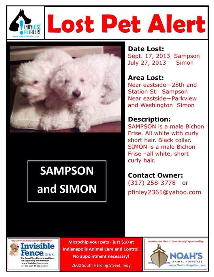 Indianapolis In Lostdog 9 17 13 Sampson Lostdog 7 27 13 Simon 28th And Station St Sampson Washington And Parkview Sim Losing A Dog Losing A Pet Bichon