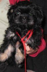 Adopt Penny On Shih Tzu Poodle Shih Tzu Shih Tzu Dog