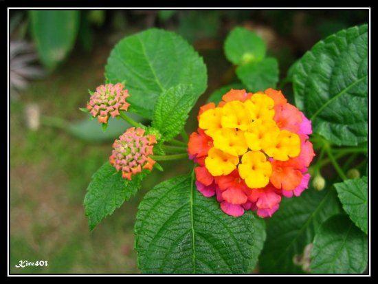 Pin By Venieze Mapanao On Philippine Flowers Lantana Flower Flower Garden Lantana