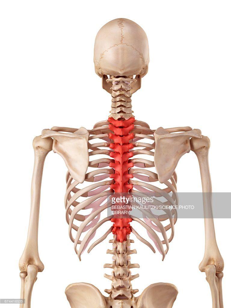 Human Thoracic Spine Anatomy