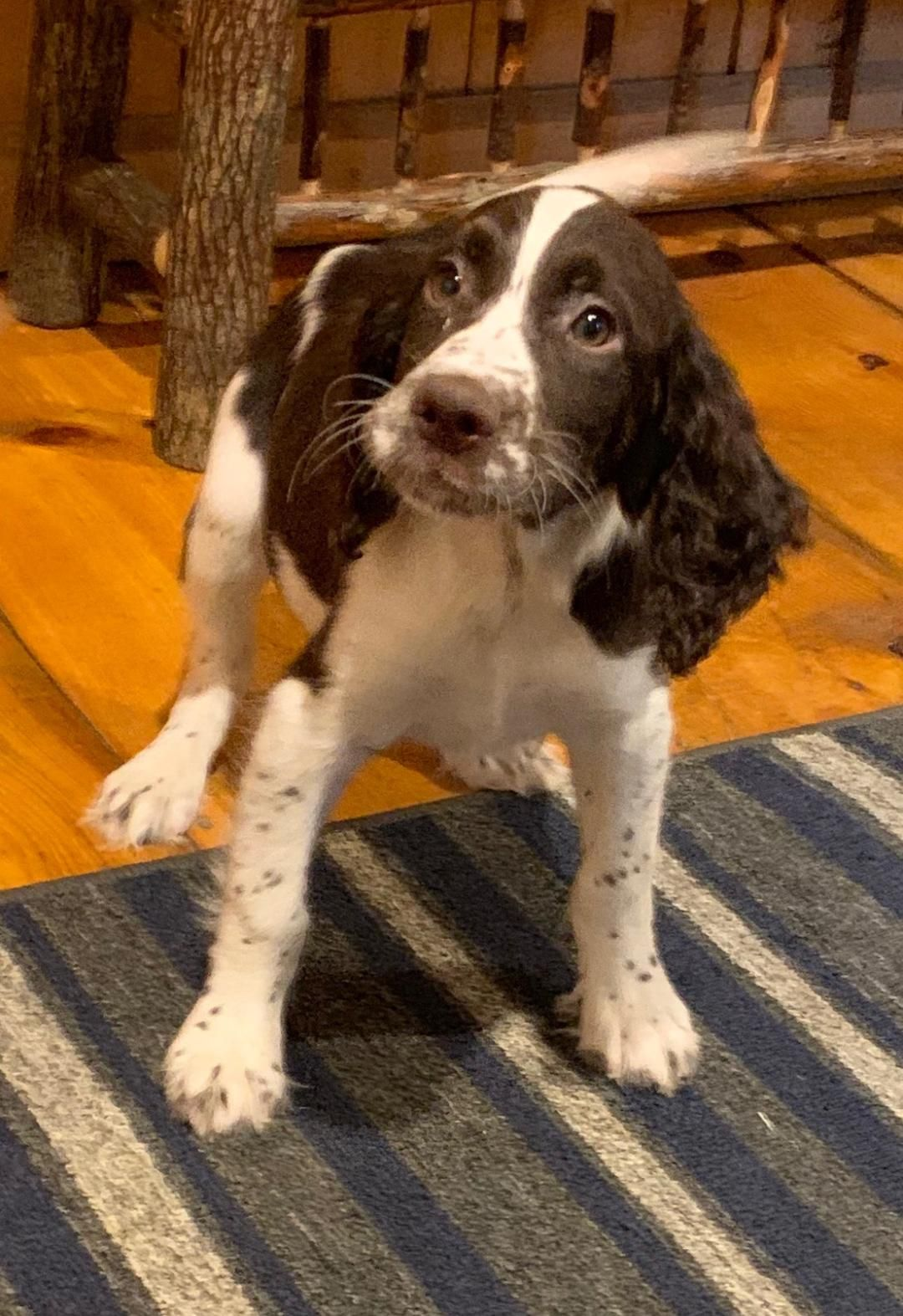 Buster male English Springer Spaniel pup in East