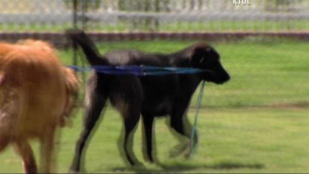Blind Golden Retriever Gets Seeing Eye Dog Dogs Golden Retriever