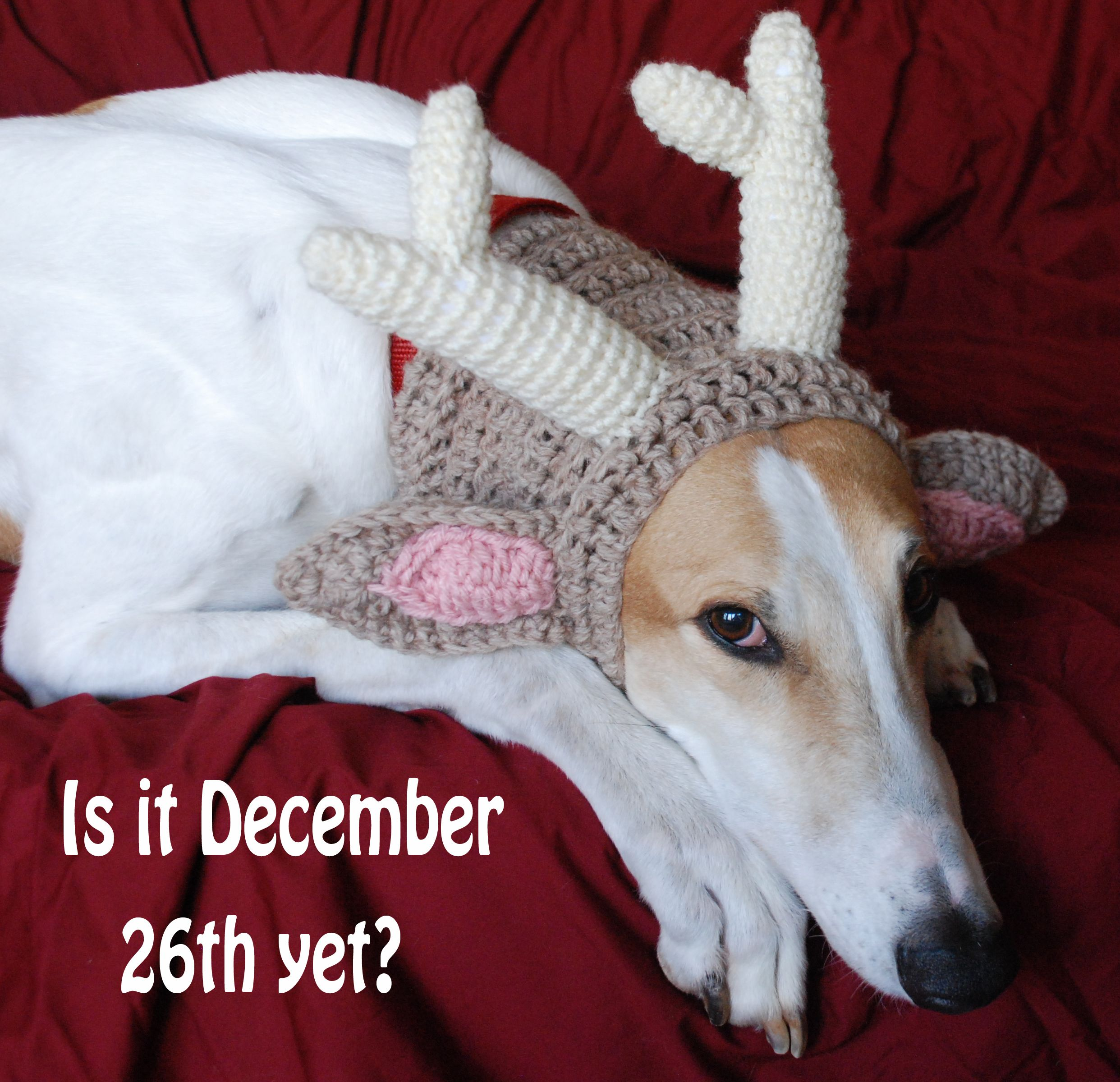 Christmas Story Bumpus Hounds Quote: Moose The Greyhound In His Antlers
