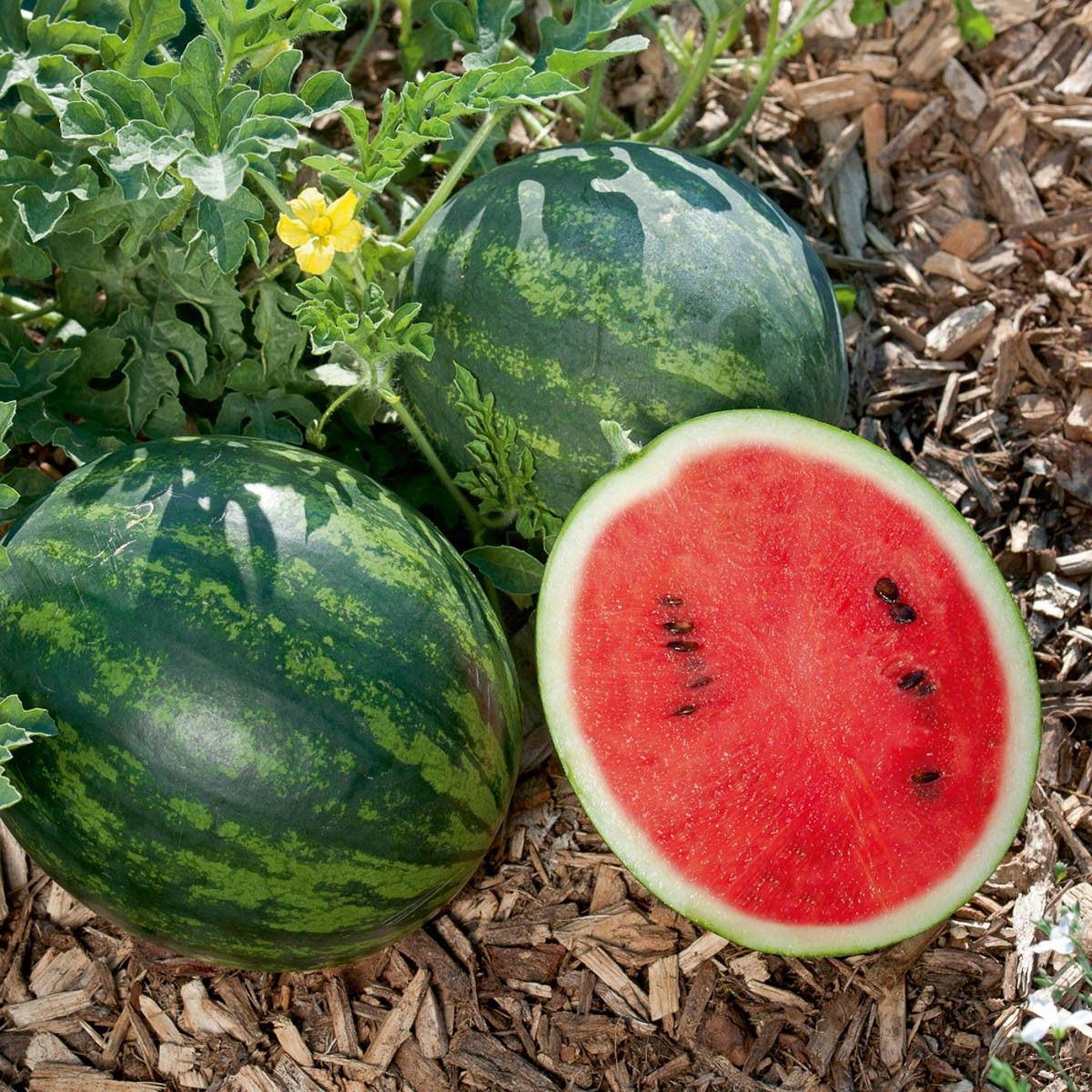 Mini Wassermelone Mini Love Die Kleinsten Wassermelonen Der Welt Volmary Pflanzenshop Mini Wassermelone Wassermelone Pflanzen Wassermelone