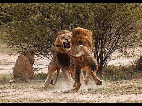 El fin de los grandes Felinos | Asesinos de Fauna | Lucha por la Supervivencia |el declive del rey - YouTube Ncastro