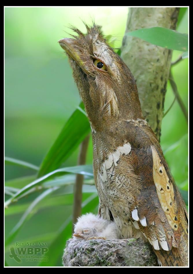 Philippine Frogmouth With 2 Day Old Hatchling Pet Birds Beautiful Birds Pretty Birds