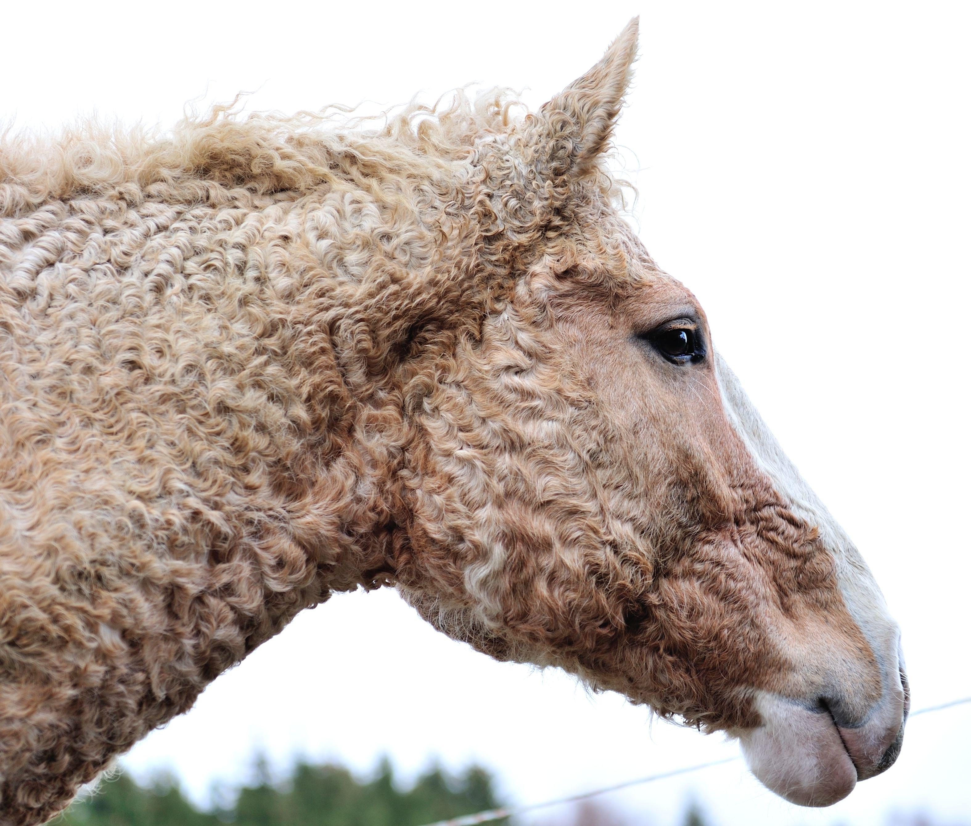 Horses Rare Horses Curly Horse