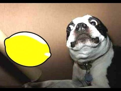 dog eating lemon