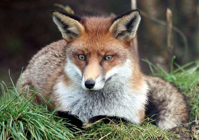 Red Fox by flambard - Tony Jones
