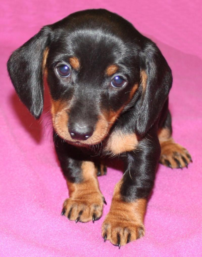 Adopt Anna On Animals Pinterest Adoptable Dachshund Dog
