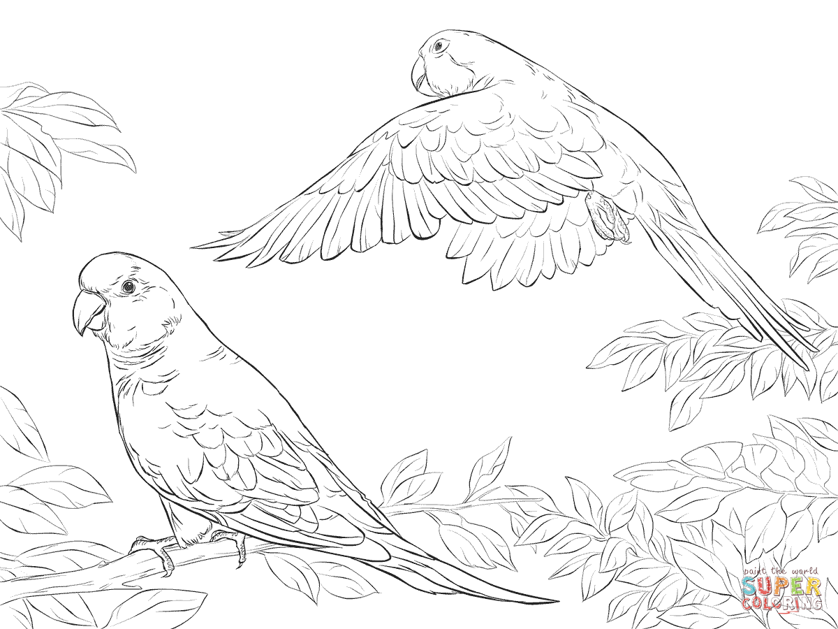 Two Quaker Parrots Coloring Page Supercoloring Art