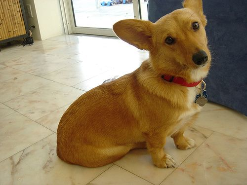 Dorgi Pw Corgi Dachshund Mix Info Temperament Care Puppies