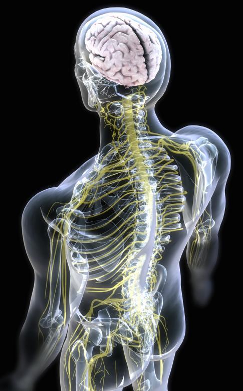 Pinterest Medical Knowledge Nervous System Anatomy Human Body