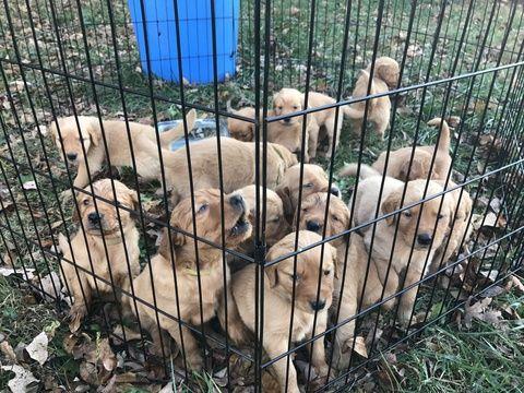 Litter Of 10 Golden Retriever Puppies For Sale In Burkesville Ky
