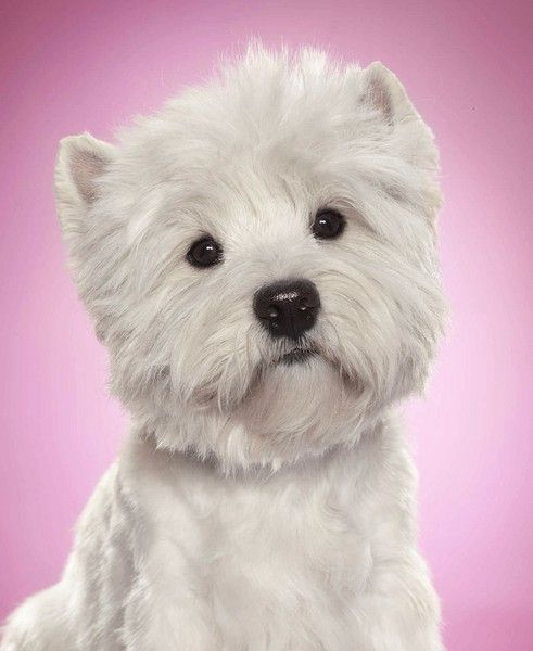 What Kind Of Dog Is The Cesar Dog : cesar, Noble, Highland, Terrier, Cesar, Sweet-pups, Westies,, Dogs,, Animals