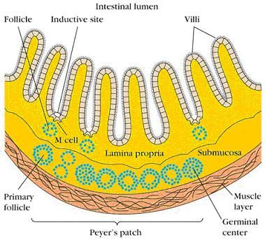diagram of peyer's patches - peyer's patches are small masses of lymphatic  tissue found throughout the