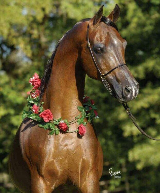 Brown Arabian Horse Arabian Horse Beautiful Arabian Horses Horses