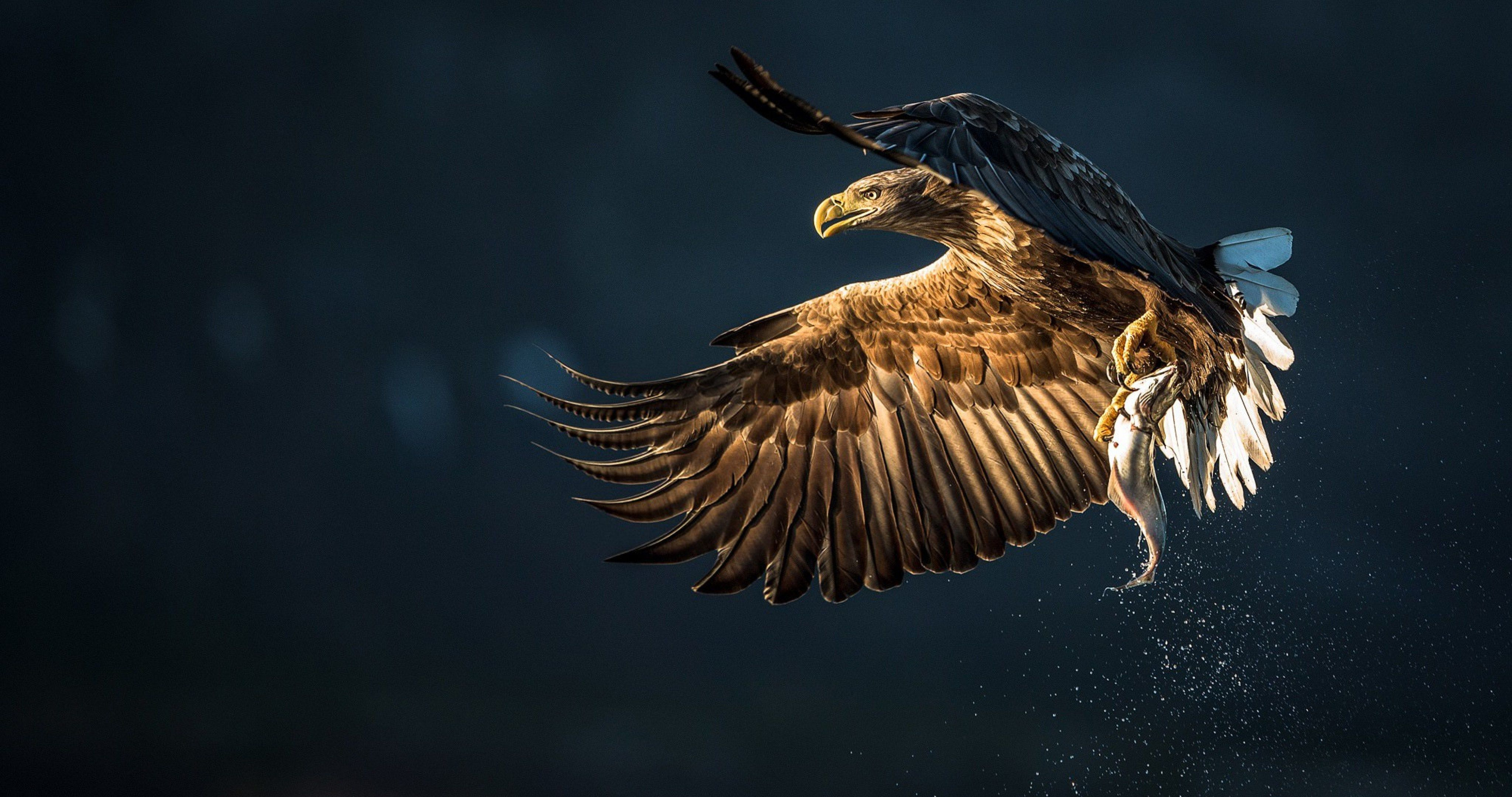 eagle bird catch fish 4k ultra hd wallpaper Eagle pictures