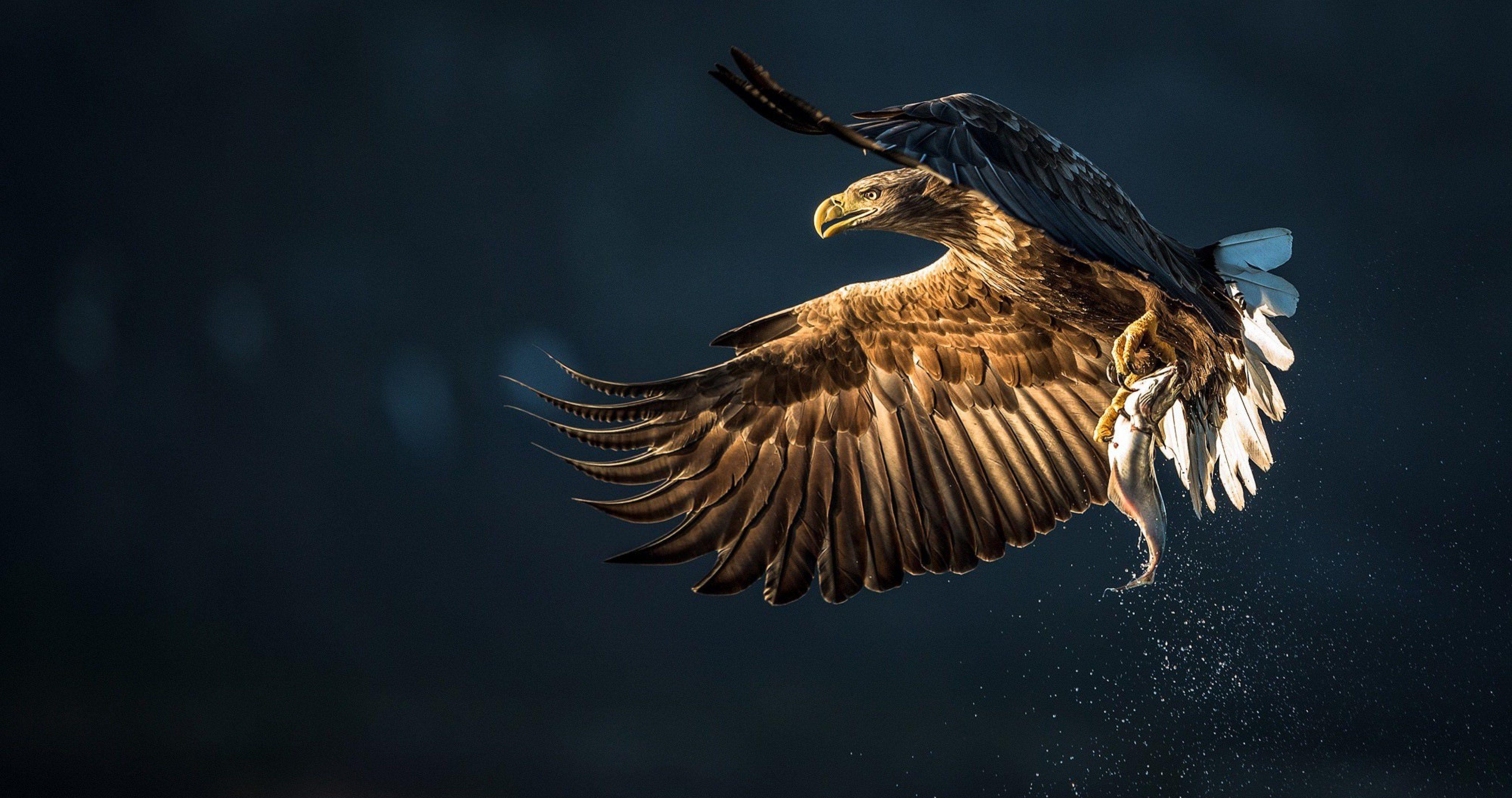 eagle bird catch fish 4k ultra hd wallpaper ololoshenka