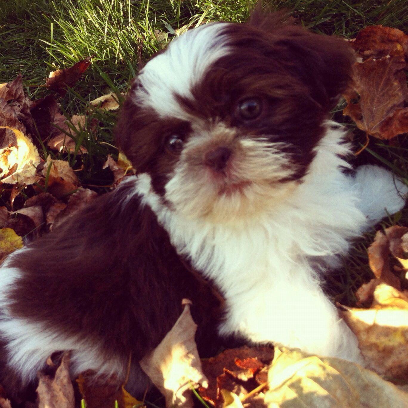 How to train puppy to use pee pad recipe puppies shih