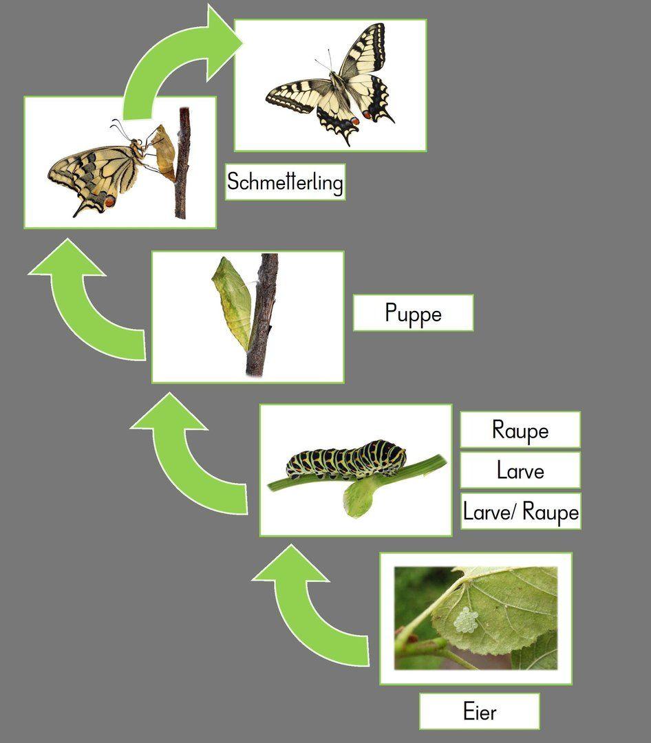 Tafelkarten zur Metamorphose des Schmetterlings | Material Schule ...
