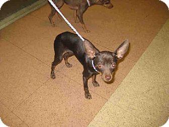 San Jose Ca Miniature Pinscher Mix Meet A Puppy For Adoption