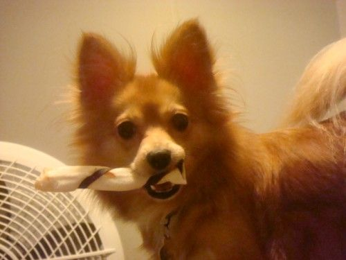 Fantastic Papillon Canine Adorable Dog - a5b536a068acc538b2c76c925f07699e  Picture_314255  .jpg