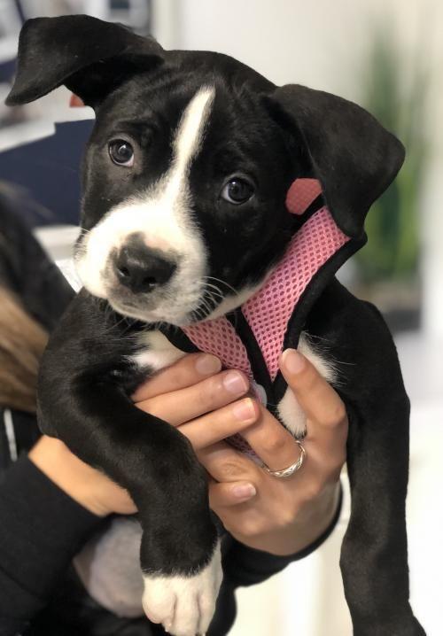 Adopt Birdie on Wags, walks, Pitbull terrier, Labrador