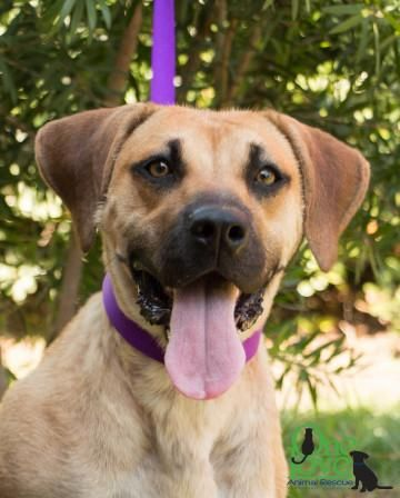 Panda Is An Adoptable Black Mouth Cur Boxer Dog In Savannah Ga