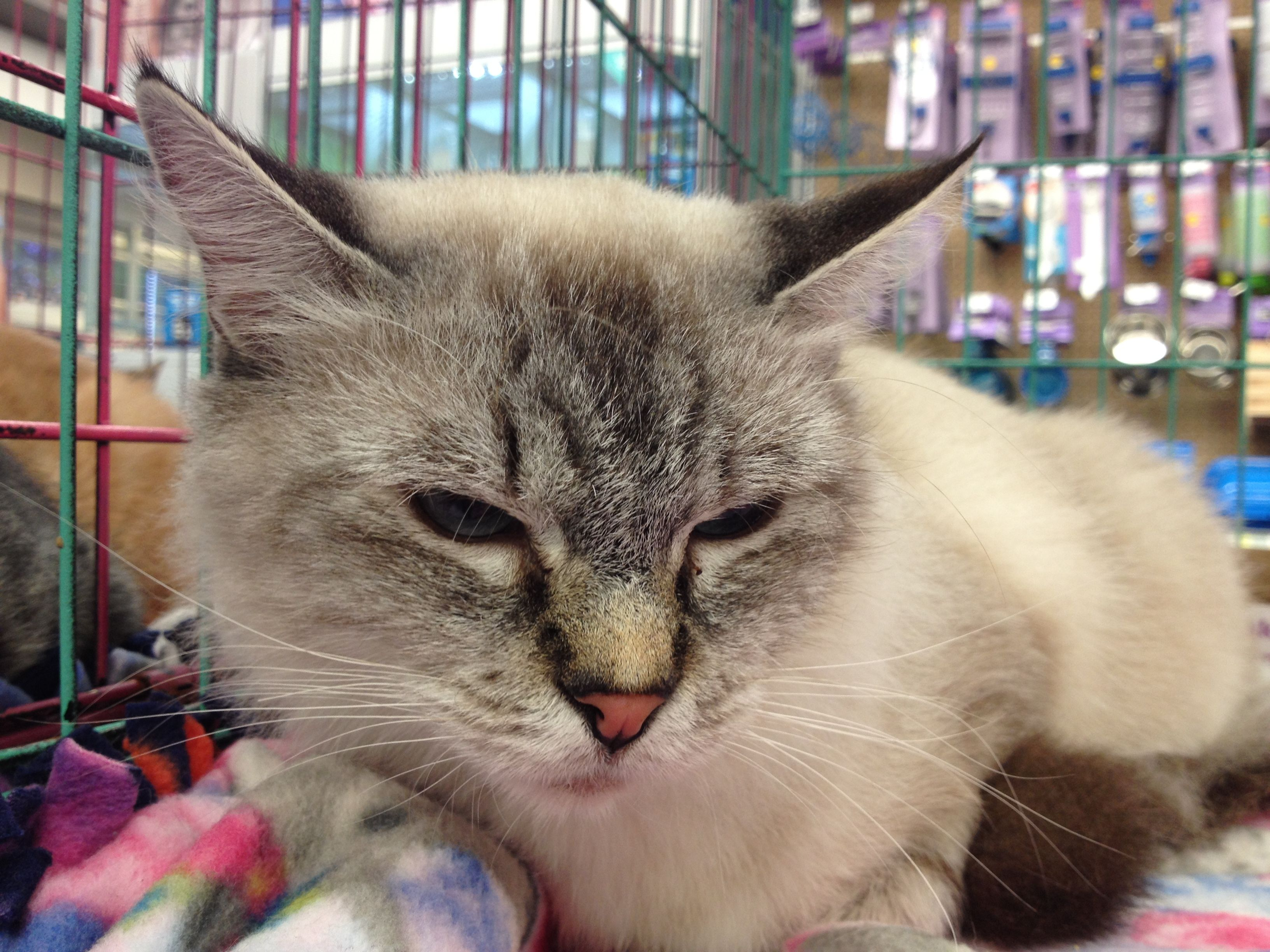 Adopt Rosa On Petfinder Cat Adoption Help Homeless Pets Pet Finder