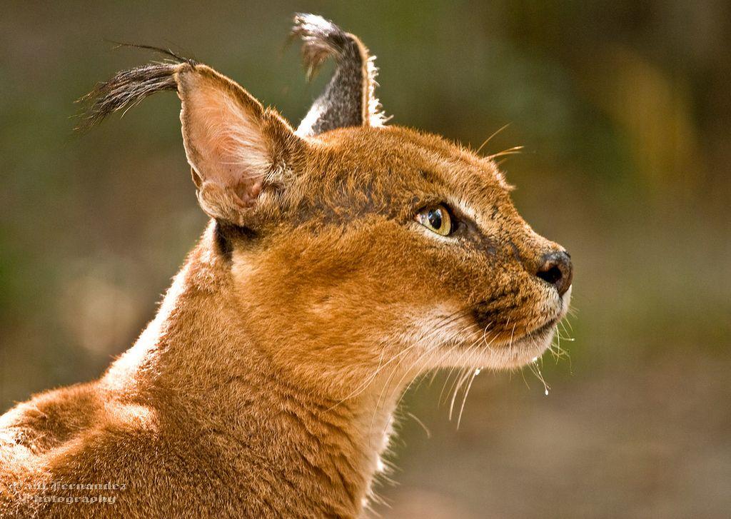funnywildlife Memphis zoo, Caracal, Wild cats
