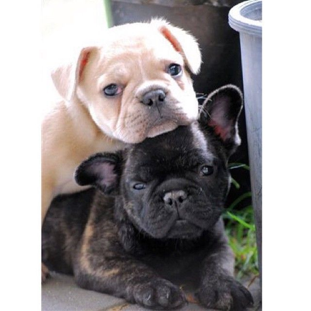 Makes Me Smile Dogs Puppy Pets Animals French Bulldog