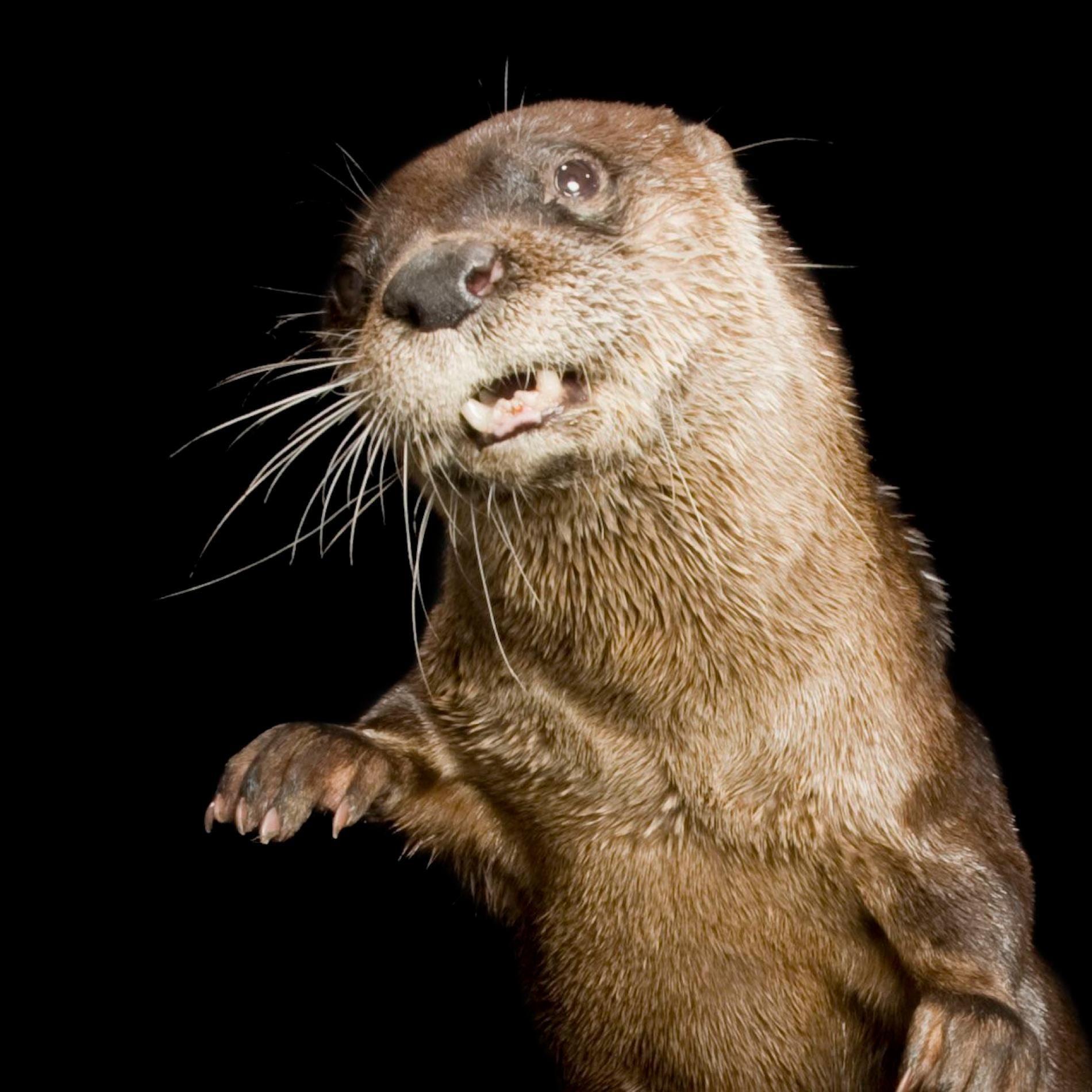 North American River Otter River otter, Amazon