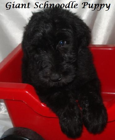 Giant Schnauzer And Standard Poodle Cross Puppy Schnoodle