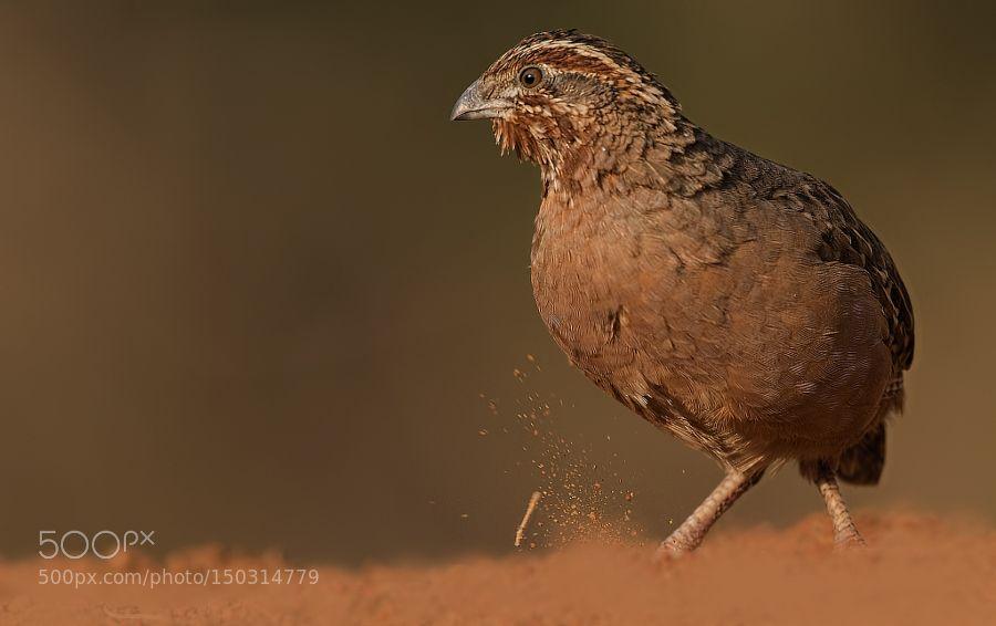 Jungle bush quail by YogeshBhandarkar via http://ift.tt/1qFTjEB