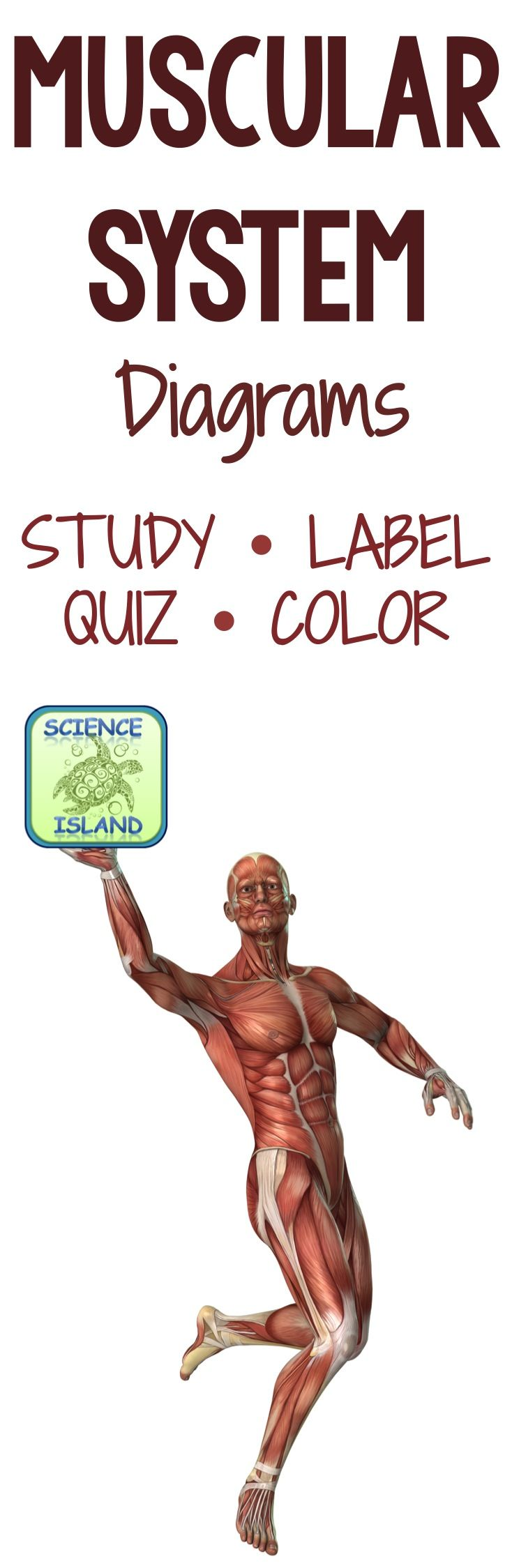 Muscular System Diagrams: Study, Label, Quiz & Color | Science for ...