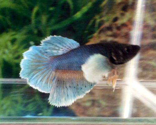 FEH15-Thai-Import-Blue-White-Dumbo-Ears-HM-Female-Betta