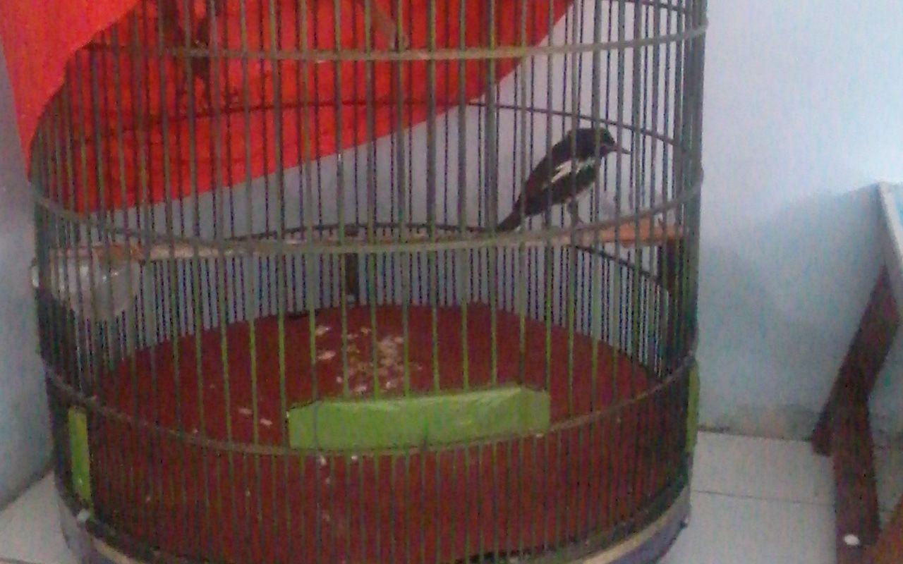 Burung Kacer Tips Tentang Burung Pinterest # Muebles Cilek Colombia