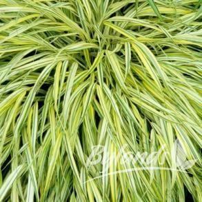 Golden Variegated Japanese Forest Grass - Hakonechloa macra 'Aureola' | Bylands Nurseries Ltd.