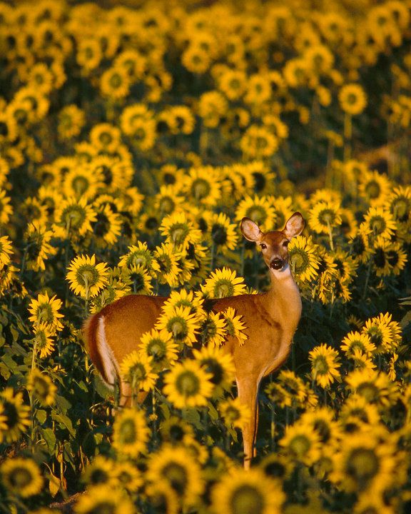 Deer in the sunflowers