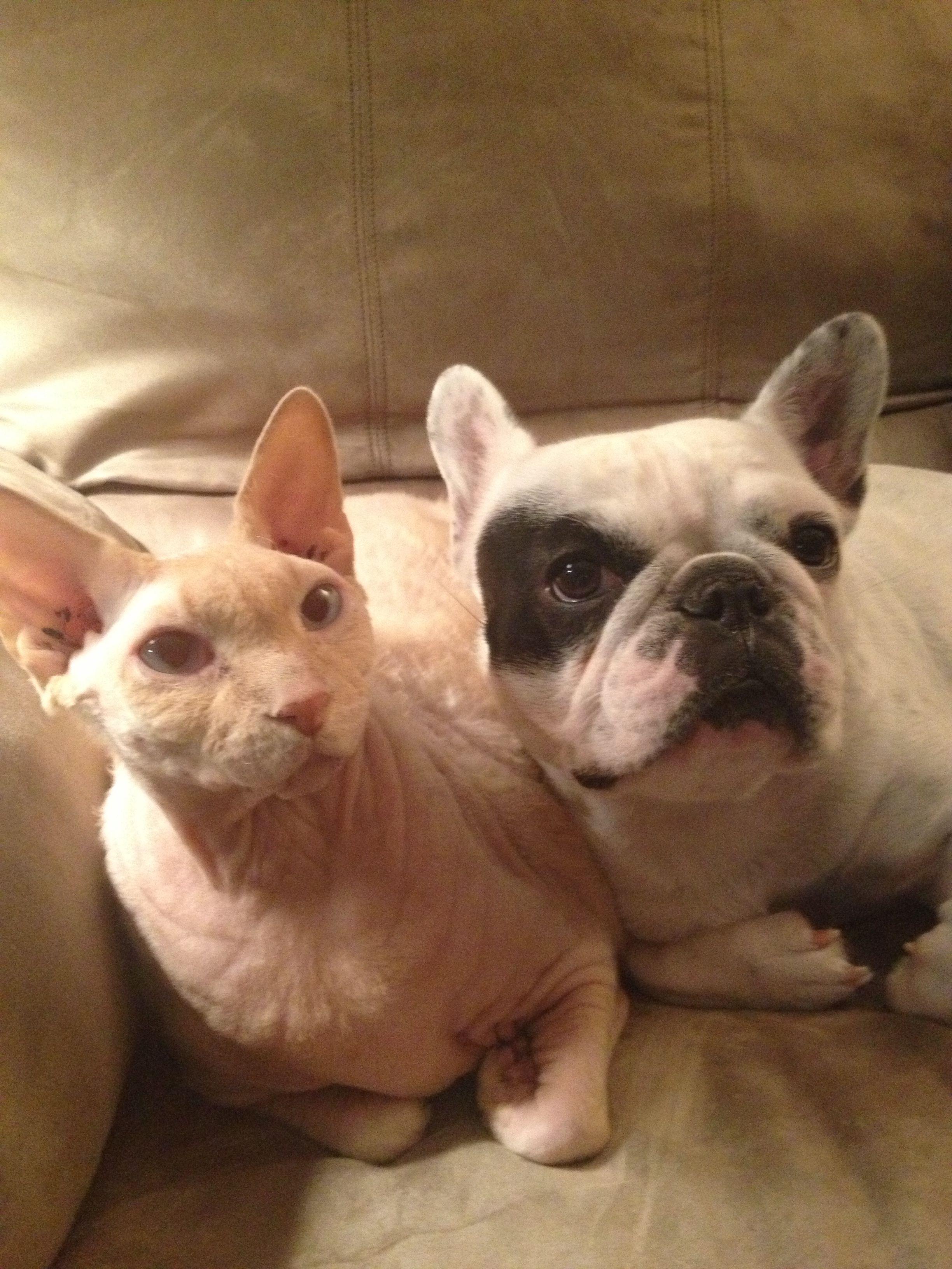 French Bull And Hairless Cat Friends Hairless Cat Animals