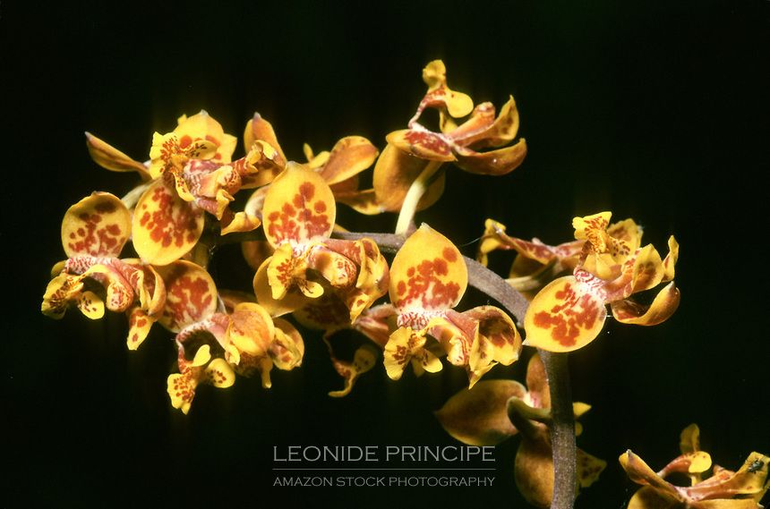 Rudolfiella aurantiaca