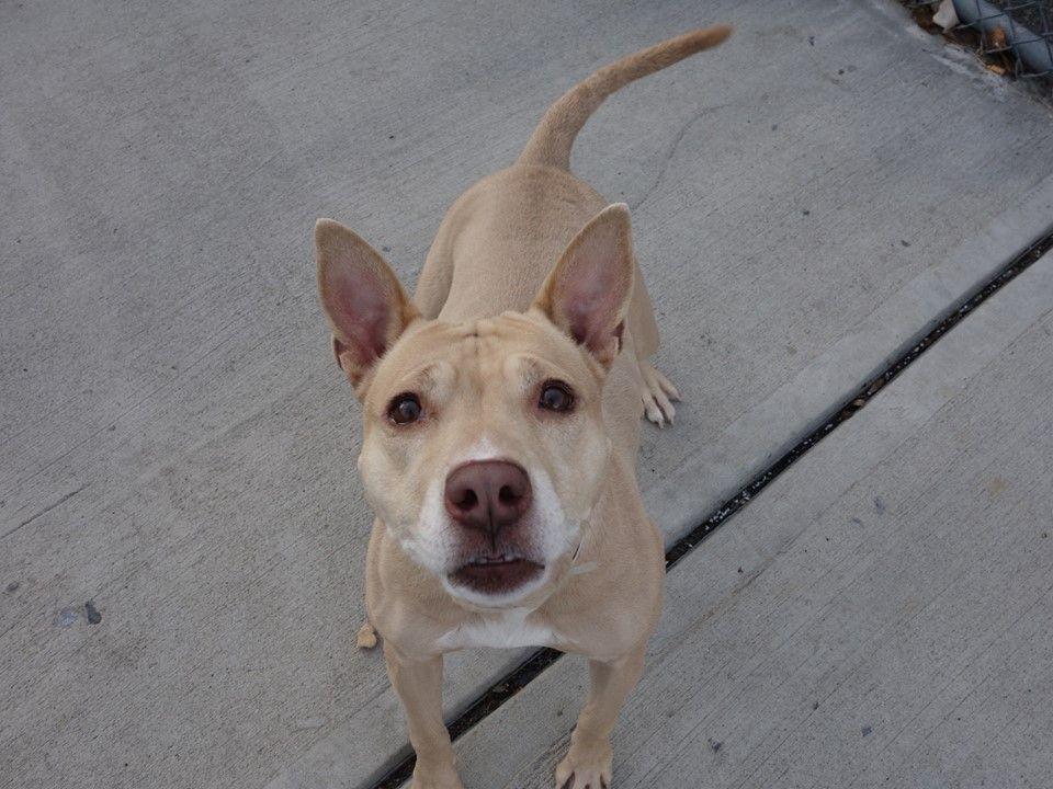 Pitbull puppy rescue nj
