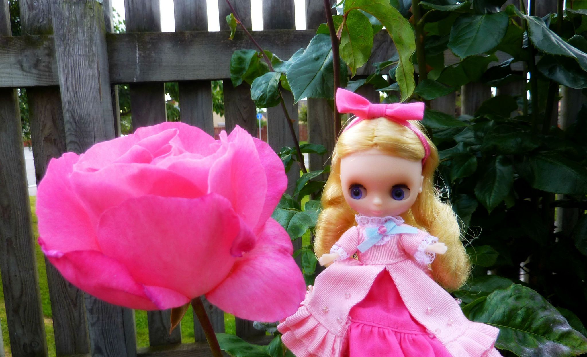 https://flic.kr/p/x6M9rS   This rose is almost bigger than Fawn Giselle! 196/365