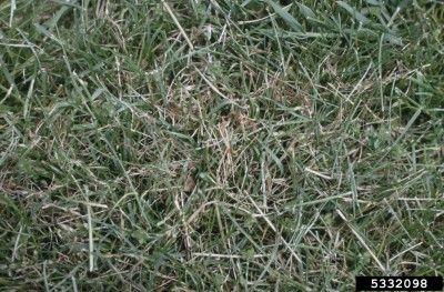 Controlling Pink Fungus In Lawns Pink Patch And Red Thread In Grass Grass Patch Lawn Lush Lawn