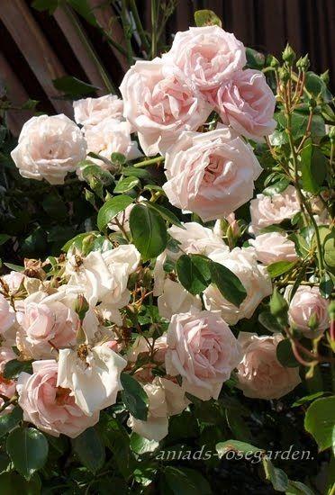Rozany Ogrod New Dawn Beautiful Flowers Flowers Rose