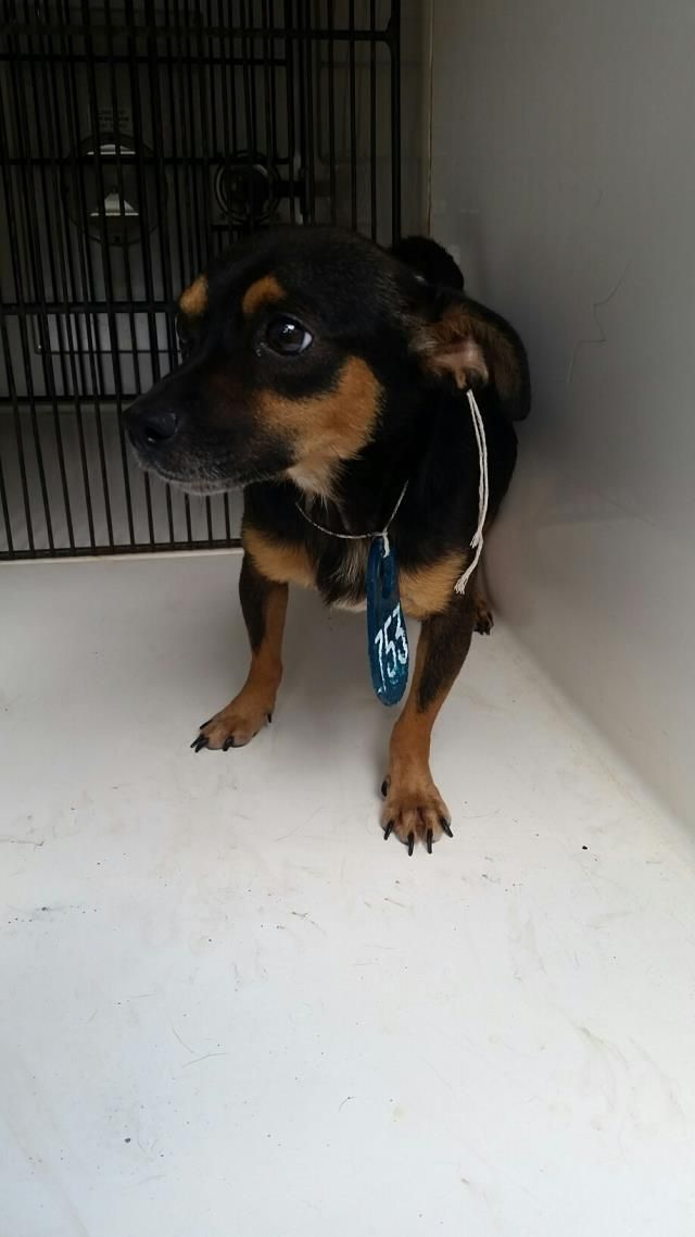 This Dog Id A466569 Urgent Harris County Animal Shelter In