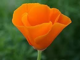 California poppy state flower of california and birth flower for california poppy state flower of california and birth flower for the month of august mightylinksfo