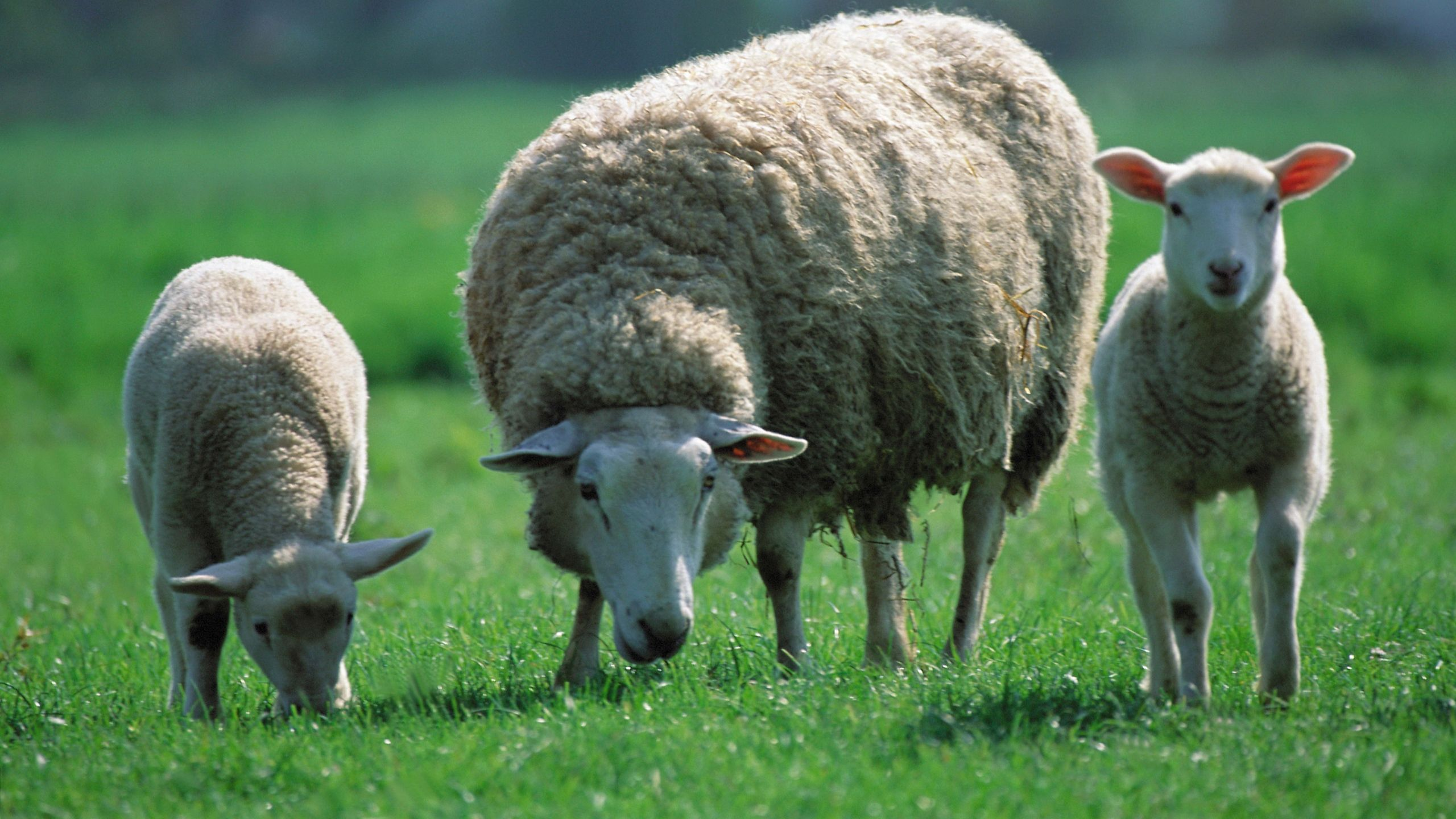 2560x1440 Wallpaper Sheep Children Three Pasture
