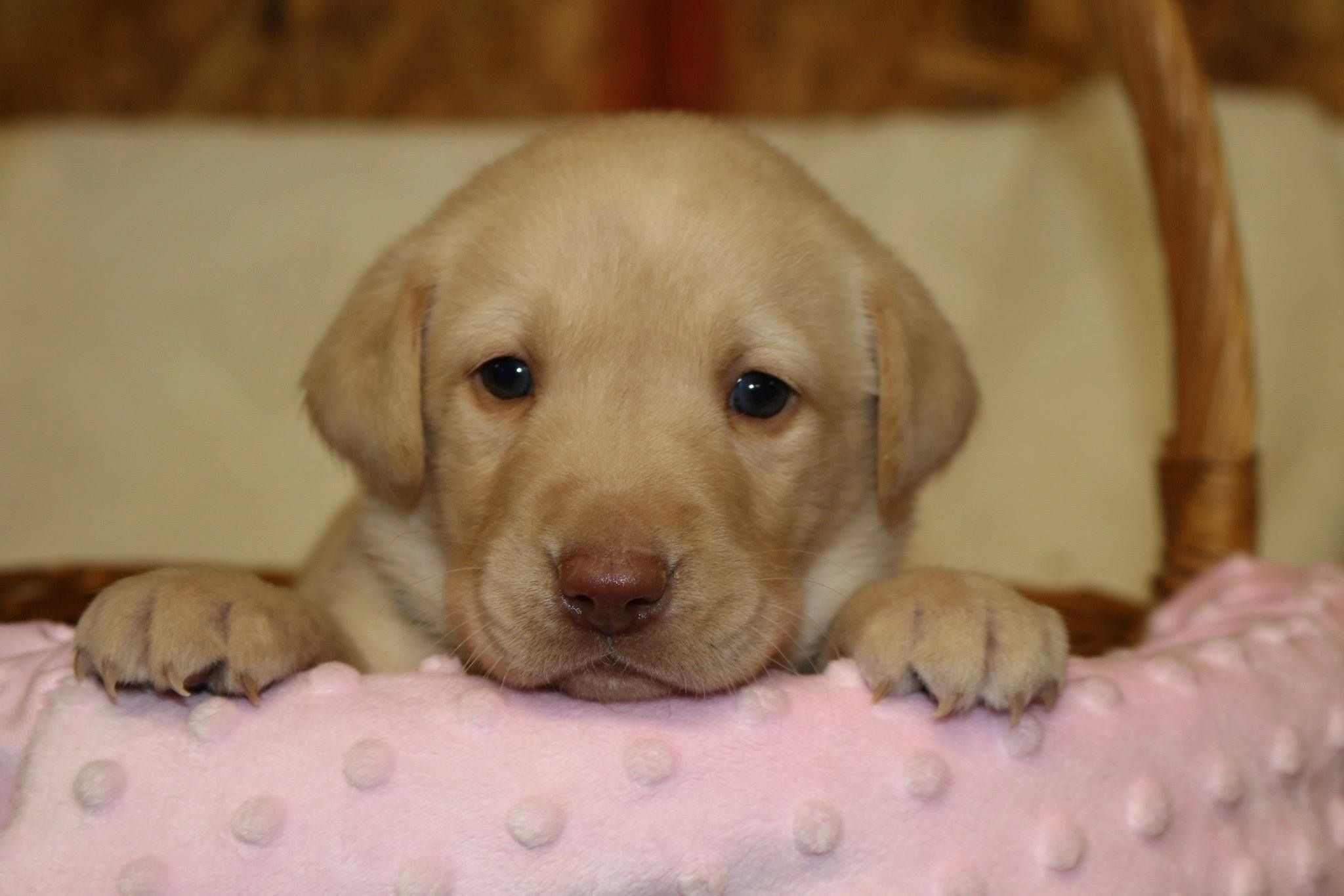 Yellow Female British Lab For Sale Rockspringslab Yellowlab Britishlab Labpuppies Lab Puppies Labs For Sale Puppies